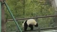 """女大学生""""偷摸大熊猫""""惹众怒,本人:是熊猫爬上来""""碰瓷""""我!"""