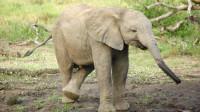 可爱小象追逐飞鸟,玩的不亦乐乎,小象:我能耍一天