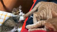 橘猫正睡大觉,中途发现被猫咪撸尾巴,一脸无奈:睡个觉就这么难
