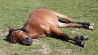 为什么马是站着睡觉的,难道不会摔倒吗?看完解开多年疑惑