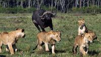 胆大水牛追赶狮群,下一秒它出现后逆转战局!镜头记录精彩全程