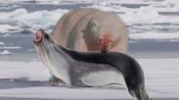饿坏了的北极雄,掘冰挖出一只海豹,海豹:这你都能找见!