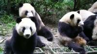 熊猫:6只大熊猫勾肩搭背,兄弟围在一起,商量什么事情呢