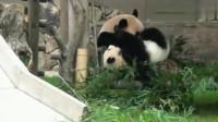 熊猫:大熊猫妈妈正在吃竹子,结果熊猫宝宝过来了,简直太淘气了