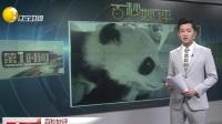 """是偷摸大熊猫  还是被熊猫""""碰瓷""""?"""