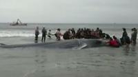 长须鲸搁浅智利海滩后死亡