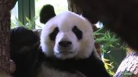 """大熊猫""""园园""""顺利抵达奥地利"""