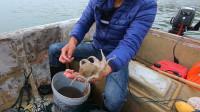 阿烽展示渔民的智慧,把海螺壳放到海床上,竟抓到几十个八爪鱼