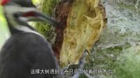"""啄木鸟中的""""庸医"""":为了捉虫快把大树掏空, 树:我的心有点痛"""