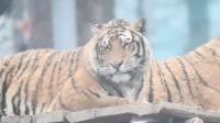 黑龙江海林山区:东北虎在春雪中嬉戏打闹,可爱模样吸引眼球!
