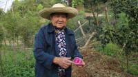 农村种黄瓜,为何要撒鸡屎灰,八十岁老奶奶说出原因