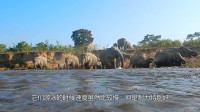 大象为了寻找草地过河,却遭遇水中霸主咬住鼻子!