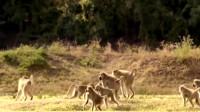 花豹想要偷袭黑斑羚,怎料一旁狒狒狂吼让小斑羚快逃,还给斑羚断后