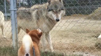 这只柴犬有点飘!对着狼就是一顿吼,狼的小眼神说明了一切