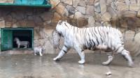 小白虎偷溜出门玩耍,被老妈一声吼吓到腿软,老老实实回家了