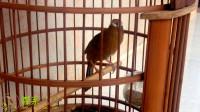 精品母画眉鸟叫声,开春母画眉鸟引公叫声,拿给你家鸟儿听听?