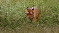 森林之王就是厉害啊!老虎捕食大水牛,两三口水牛就站不起来了!