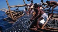 印尼捕鲸人传统捕鱼,6小时只捕到一条蝠鲼鱼,还得50人分着吃!
