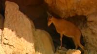 狼群在悬崖上追捕岩羊,下一秒岩羊逃过一劫,镜头拍下全过程