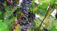 这种水果越冷长得越好,能卖十几块一斤,只有部分地方可以种