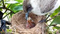 小鸟在果园做窝了,小伙子很好奇,在鸟窝旁放了一台录像机观察鸟儿