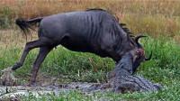 牛羚被鳄鱼死死咬住,不料同伴见死不救,即将凉凉意外却发生了!