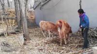 农村媳妇去喂牛,结果发现母牛不太对劲,走进一看却高兴坏了