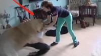 国外夫妇养只狮子当宠物,不想狮子突然兽性大发,差点酿成悲剧