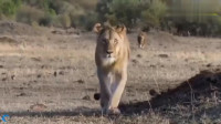 动物世界,狮子宝宝玩耍被野狗叼走,狮子这次是真的怒了