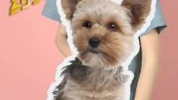 约克夏犬冷知识——常常以为自己是大型犬,领地意识十分强
