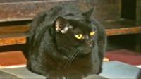 锦灰视读49《我是猫》:猫是如何嘲笑人类的,喵星人有多瞧不上铲屎官