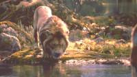 好莱坞巨献真人版《狮子王》,辛巴王者归来带我们重温童年