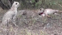 公羚羊在打斗,非洲猎豹100码速度偷袭全都死在狮子手中