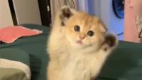 萌宠:邻居寄养在我家的橘猫,撒起娇好奶萌,老夫的少女心啊