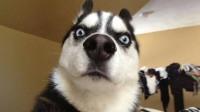 你以为哈士奇真的是最傻的狗?盘点下最傻的四条狗狗!