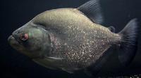 凶猛的食人鱼,为何没能称霸亚马逊河流?原来怕这家伙!
