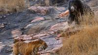 黑熊不小心闯进老虎领地,老虎立马围了上去,下一秒是这样