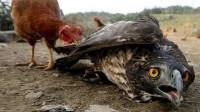 老鹰去农舍偷鸡,结果反栽在母鸡手里,镜头拍下全过程