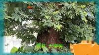 村里有棵大柳树