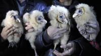 农民捡到4只猴脸怪鸟,每天吃8斤肉,专家赶来一看后脸色大变!