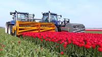 荷兰农场培育郁金香各种机械化操作,场面行云流水,值得我们学习