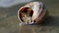 它是世界最小的喵星人,体长仅有4.9厘米,海螺都能当房子住!