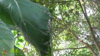 小伙子发现一片叶子与众不同,转到背后惊喜了,这里有个鸟窝