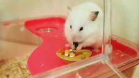 小仓鼠特别喜欢吃寿司,简直太好玩了!