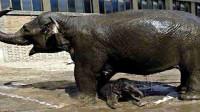 母象分娩中遭当地人猛砸石头为护小象暴怒攻击围观人群踩死1人