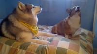 哈士奇跟柯基学狼嚎,结果俩傻狗嚎到停不下来,画面不忍直视