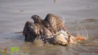 不愧是猛禽,苍鹰把一只大鸭子拖上岸了