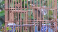炎热的夏天,在院子里聆听画眉鸟唱歌,是个不错的选择