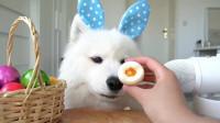 不一样的吃播,狗狗吃水煮蛋,看那呆萌小眼神,馋坏咯