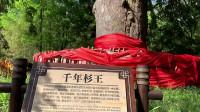 神农架许愿神树:千年杉王,高48米,历经1200多年沧桑岁月